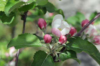 ニュートンのリンゴ-5(20180416).jpg