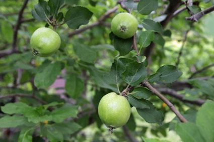 ニュートンのリンゴ-6(20180609).jpg