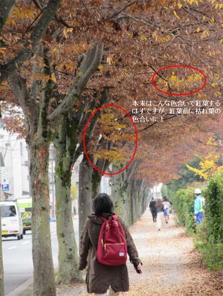 北山ケヤキの街路樹-2(20161121).jpg
