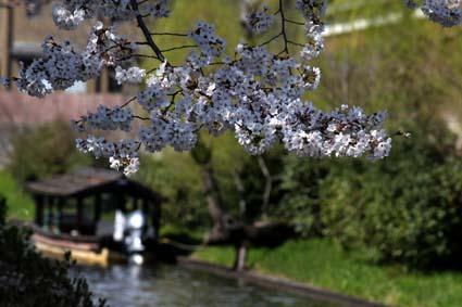 十石舟と桜-7(20170404).jpg