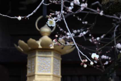 天満宮の梅の花-3(20170225).jpg