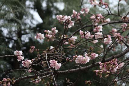 寒桜-1(20170308).jpg