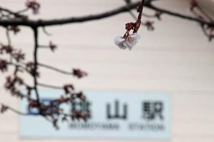 桃山駅前の桜-1(20180303).jpg