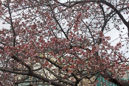 桃山駅前の桜-2(20170218).jpg