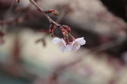 桃山駅前の桜-2(20180303).jpg