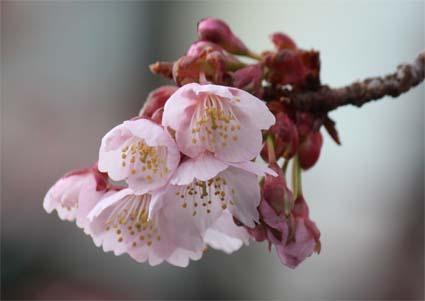 桃山駅前の桜-6(20170218).jpg