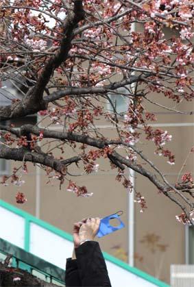 桃山駅前の桜-7(20170218).jpg