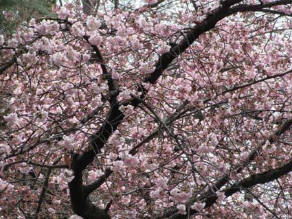 桜-2(20170314).jpg