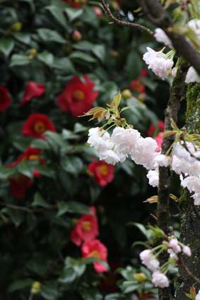 桜との共演-5(20170409).jpg