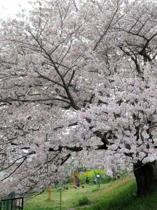 桜と西洋カラシナ-1(20170412).jpg