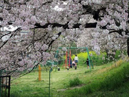 桜と西洋カラシナ-2(20170412).jpg