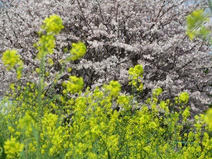 桜と西洋カラシナ-3(20170412).jpg