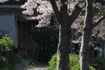 桜も終焉近し-1(20170414).jpg