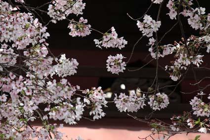 桜も終焉近し-5(20170414).jpg