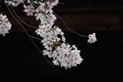 桜も終焉近し-6(20170414).jpg