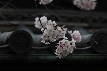 桜も終焉近し-7(20170414).jpg