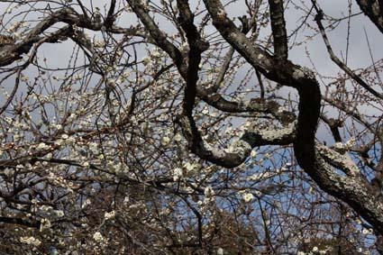 梅の花-1(20170225).jpg