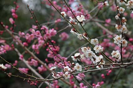 梅の花-8(20170225).jpg