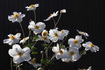 秋の花-5(20151014).jpg