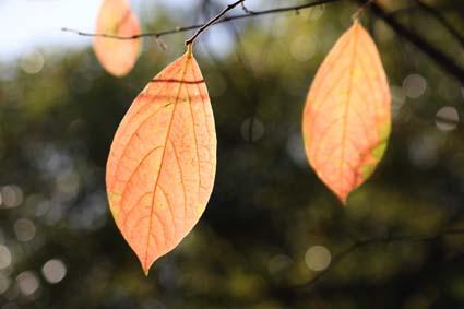 秋の葉-1(20151111).jpg