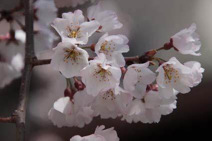 糸桜-10(20180318).jpg