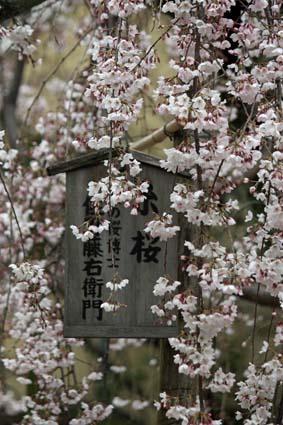 糸桜-1(20160319).jpg