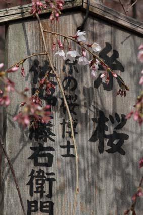 糸桜-1(20170323).jpg