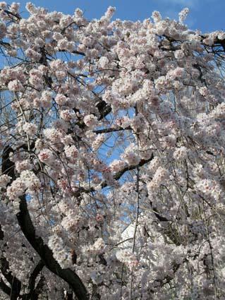 糸桜-1(20170401).jpg