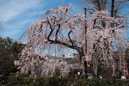 糸桜-1(20180318).jpg