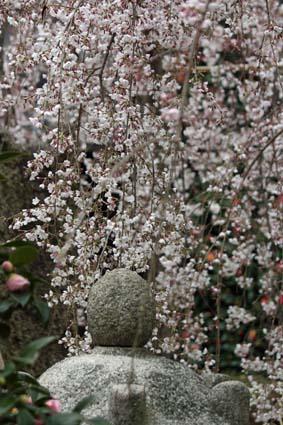 糸桜-2(20160319).jpg