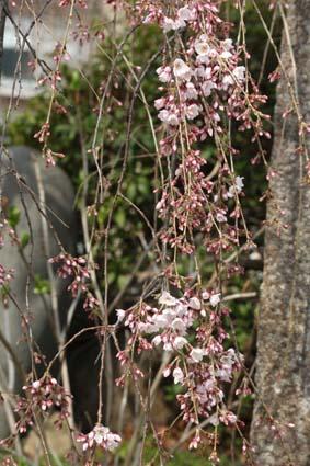 糸桜-2(20170323).jpg