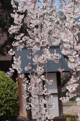 糸桜-2(20180318).jpg