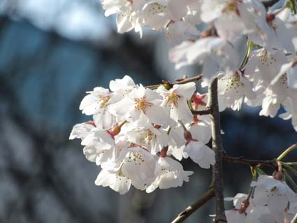糸桜-3(20170401).jpg