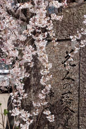 糸桜-3(20180318).jpg