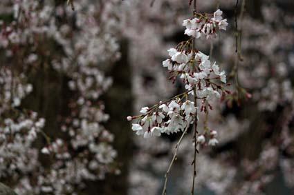 糸桜-4(20160319).jpg