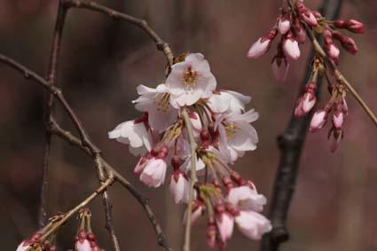 糸桜-4(20170323).jpg