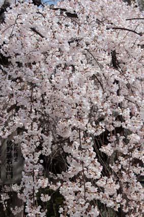 糸桜-5(20180318).jpg