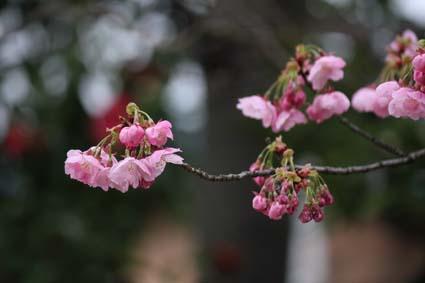 糸桜-7(20160319).jpg