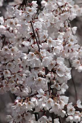 糸桜-7(20180318).jpg