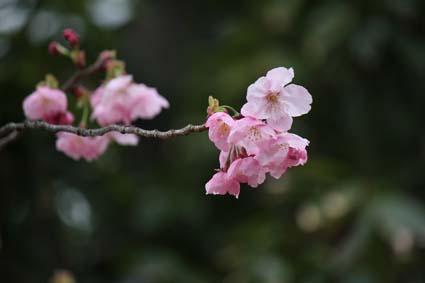 糸桜-8(20160319).jpg