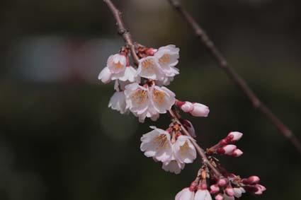 糸桜-9(20180318).jpg