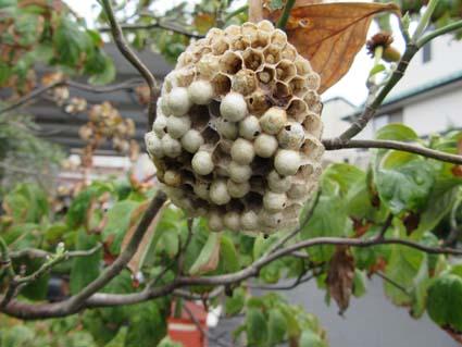 蜂の巣(20160828).jpg