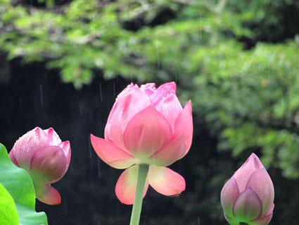 雨と蓮の花-1(20170705).jpg