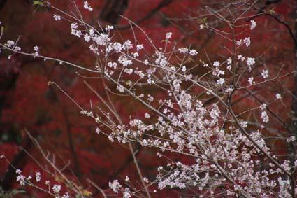 5-桜と紅葉-1(20181122).jpg