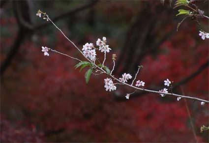 5-桜と紅葉-2(20181122).jpg