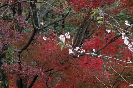 5-桜と紅葉-3(20181122).jpg