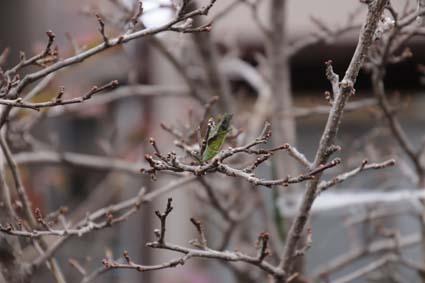 アゲハ蝶の蛹-1(20190207).jpg