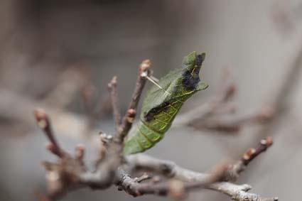 アゲハ蝶の蛹-2(20190207).jpg