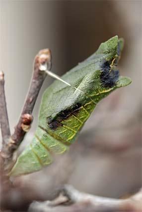 アゲハ蝶の蛹-3(20190207).jpg