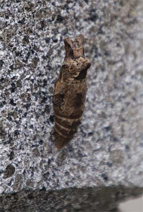 アゲハ蝶の蛹-4(20190207).jpg